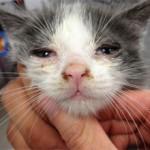 Чумка у кошки: признаки и лечение