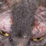 Демодекоз у кошек: лечение и описание болезни