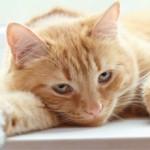 Эндометрит у кошек: причины, симптомы и лечение