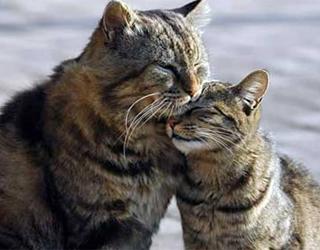Кот в брачный период
