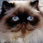 Гималайская кошка: описание породы, характер, уход, фото