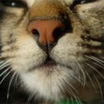 Почему у кошек мокрый нос и стоит ли беспокоиться