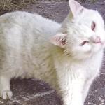 Отит у кошек: причины, симптомы и лечение