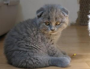 Скоттиш-фолд котенок