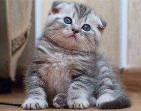 Как ухаживать за шотландским котенком