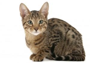 Кот серенгети