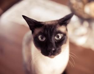Сиамский кот пристально смотрит