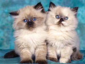 Длинношерстные котята
