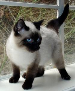4 месячный сиамский котенок