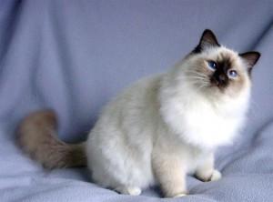 Кот Сноу шу