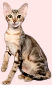 Полугодовалый котенок