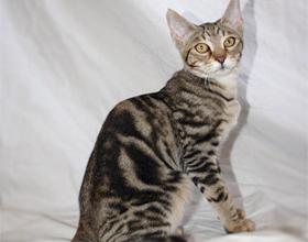 Сококе - описание породы кошек