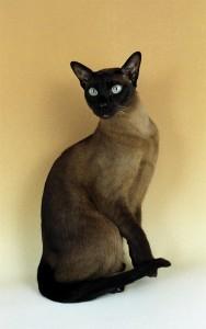 Грациозная тонкинская кошка