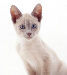 Тонкинский кот