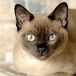 Тонкинская кошка — описание породы