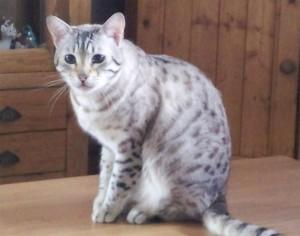 Упитанный бенгальский кот