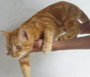Бразильская короткошерстная кошка на руках