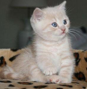Светлый котенок