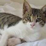 Бразильская короткошерстная кошка: описание, характер, уход, фото