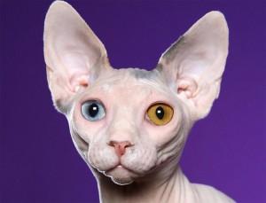 Кошка с разным цветом глаз