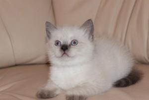 Домашний котенок