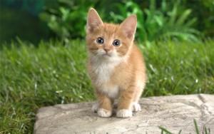Рыжеватый котенок