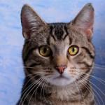 Американская короткошерстная кошка: описание породы, характер, фото