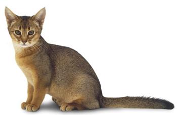 Абиссинкий котенок