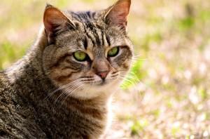 Калифорнийский кот