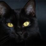 Черная кошка — приметы и суеверия