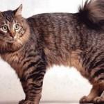 Курильский бобтейл: характер и описание породы