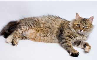Домашний сибирский кот