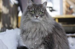 Мудрый сибирский кот