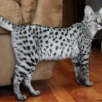 Порода кошек Саванна: описание и фото