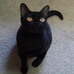 Бомбейская кошка: история, описание, характер