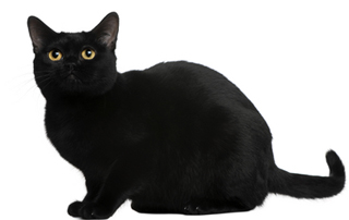 Взгляд бомбейской кошки