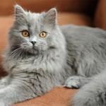 Британская длинношерстная кошка: описание породы, характер, фото