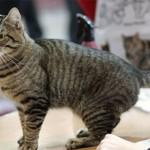 Кельтская кошка(европейская короткошерстная)