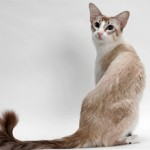 Балинезийская кошка.Описание и характер балинезов