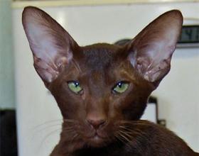 Ориентальная короткошерстная кошка