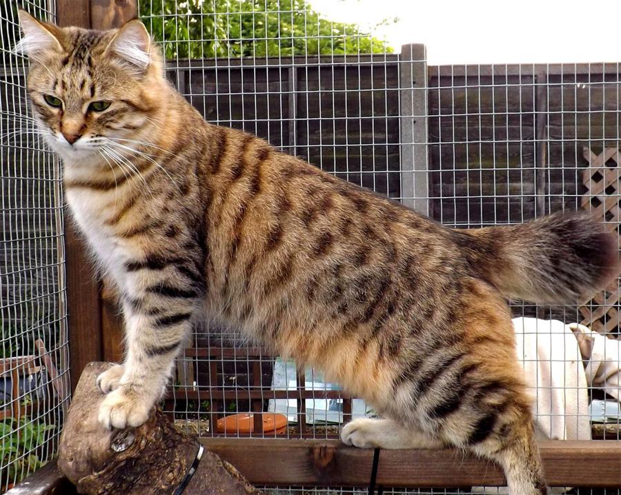 нетландию, фото пиксибоб кошек такой