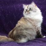 Порода кошек Рагамаффин — история и характеристики
