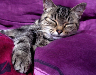 Кельтская кошка спит