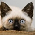 Как ухаживать за сиамским котенком