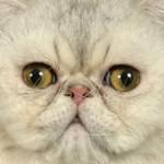 Породы кошек с приплюснутой мордой