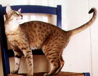 Кошка Канаани