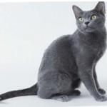 Корат — описание породы кошек