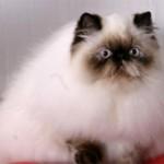 Персидская кошка: описание породы и характера, уход, фото