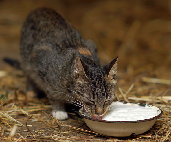 Кошка с кефиром