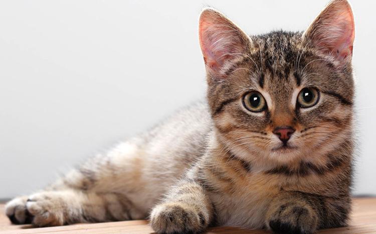 Кошка с ушами